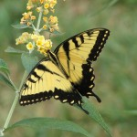 An Eastern Swallowtail.